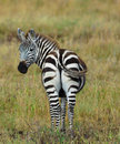 Zebra looks back a turn around to have a look what s happening behind him Royalty Free Stock Photos