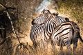 Zebra in love two hugging zebras kruger national park south africa Stock Photography