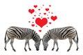 Zebra in love on white background Stock Photo