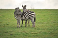 Zebra lovers Stock Photography