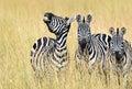 Zebra in the Masai Mara Royalty Free Stock Photo