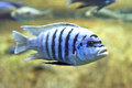 Zebra mbuna maylandia zebra swimming in its natural habitat Royalty Free Stock Photography