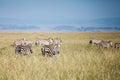 Zebra in migration the of wild animals Stock Photo