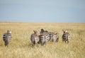 Zebra in migration the of wild animals Stock Image