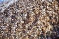 Zebra Mollusks Royalty Free Stock Photo