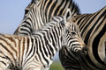 Zebra mom and baby Royalty Free Stock Photos