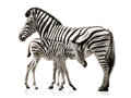Zebra mother and baby female her isolated on white background with reflections Royalty Free Stock Photo