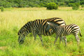 Zebra mother and foal in pilanesberg national park south africa grazing on a savannah the image was taken march Royalty Free Stock Images