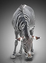 Zebra one on gray background Royalty Free Stock Photography