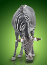 Zebra one on green gradient background Royalty Free Stock Images