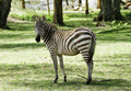 Zebra are one of the species of horse family Royalty Free Stock Photography