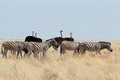 Zebra and ostrich in african bush Royalty Free Stock Photo