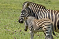 Zebra parent affection showing its young some love and Royalty Free Stock Photos