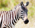 stock image of  Zebra on a pasture