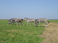 Zebra the pasturing in the grass in the national park askania nova Stock Photo