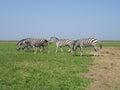 Zebra the pasturing in the grass in the national park askania nova Stock Photo