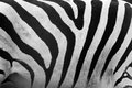 Zebra pattern close up black and white stripes real background Royalty Free Stock Photos