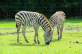 Zebra on the plains in zoo Stock Photography