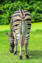 Zebra on the plains in zoo Stock Photos