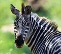 Zebra, Portrait Royalty Free Stock Photos