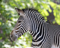 Zebra portrait close up of a Stock Image