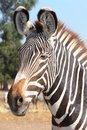 Zebra portrait closeup national park safari ramat gan israel Stock Image