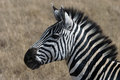 Zebra portrait in the serengeti national park tanzania africa Stock Photography