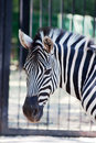 Zebra portrait in zoo Stock Photography