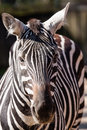 Zebra portrait in zoo liberec Royalty Free Stock Images