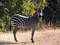 Zebra posing nicely for the camera photo taken in south luangwa national park zambia africa Royalty Free Stock Photography