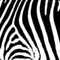 Zebra print Stock Image