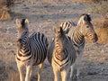 Zebra przy zmierzchem Obrazy Royalty Free