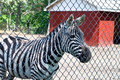 Zebra at Rescue Farm Stock Image