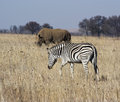 Zebra with rhino a in the foreground walks past a grazing Royalty Free Stock Image