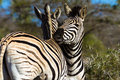 Zebra's Affections Wildlife Royalty Free Stock Photography