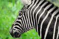 Zebra the s back and tail Royalty Free Stock Image