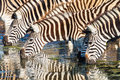 Zebras Four Drinking Mirror Colors Royalty Free Stock Photo