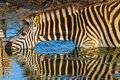 Zebra s drinking mirror colors with reflections on waters in morning light wildlife park reserve Stock Photo