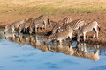 Zebra s drinking water mirror reflections herd with on the in morning light wildlife park reserve Royalty Free Stock Photos