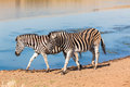 Zebra s leaving water hole in morning light at wildlife park reserve Stock Photo
