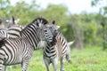 Zebra's with some giraffes Royalty Free Stock Photo