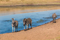 Zebra s three leaving water hole in morning light at wildlife park reserve Royalty Free Stock Photography