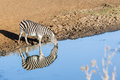 Zebra's Water Double Reflectio...