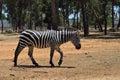 Zebra in safari in israel Stock Photography