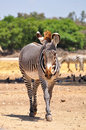 Zebra in safari park central israel Stock Photo