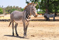 Zebra in safari park central israel Stock Image