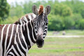 The Zebra see& x27;s you! Royalty Free Stock Photo