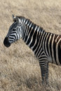 Zebra in the serengeti national park tanzania africa Royalty Free Stock Photos