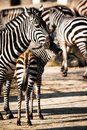 Zebra in serengeti national park tanzania east africa Stock Photo