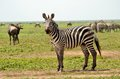 Zebra in the serengeti a poses amidst great wildebeest migration Stock Photos